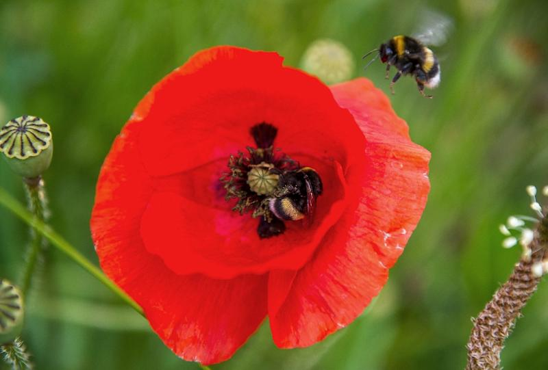 Bumblebees help pollinate plants, wildflowers and fruit trees as well as important crops like blueberries and tomatoes, providing an invaluable service to agriculture and wildlife (AFP Photo/Philippe Huguen)