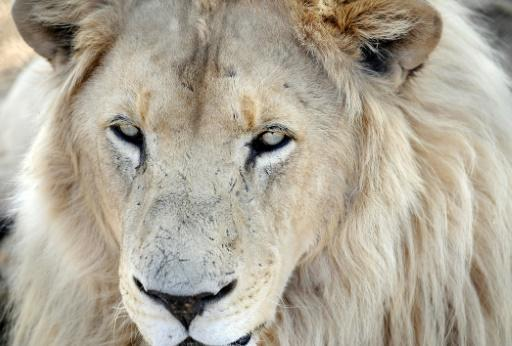 <p>Suspected poacher eaten by lions in South Africa</p>
