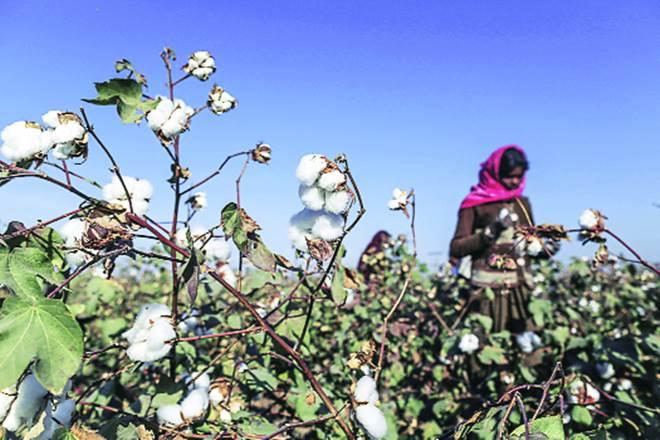 Over the past few years, herbicide tolerant Bt cotton has been planted in many cotton-growing areas of Gujarat, Maharashtra, Telangana and Andhra Pradesh