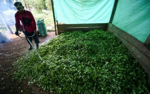 Farmer Miguel Mangos processes coca leaves to make cocaine base paste in a clandestine farm in Guaviare department, Colombia on September 25, 2017