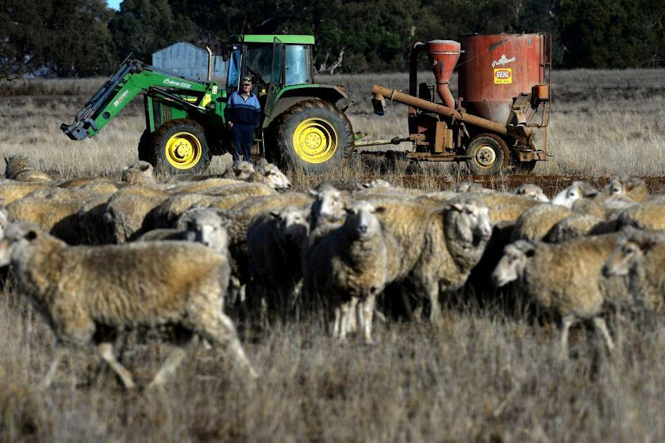 <p>Farmer Col Barton feeds his sheep cottonseeds on dry paddock in the drought-hit area of Duri in New South Wales. [Picture: AFP/Getty] </p>
