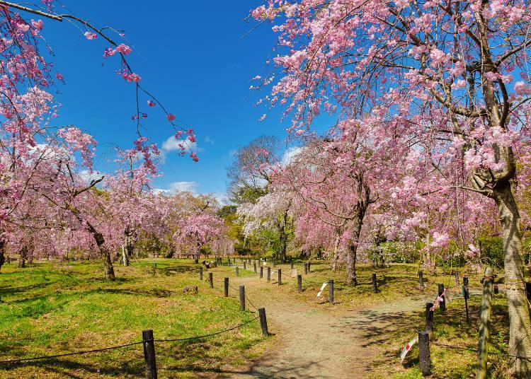 There are many types of cherry blossoms, and you can enjoy blossom viewing for over a month