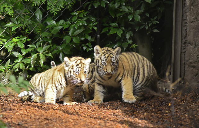 <p>Seven week old newborn Amur (Siberian) tiger cubs play with their mother Maruschka in their enclosure at Tierpark Hagenbeck on August 3, 2017 in Hamburg, Germany. (Photo: Christian Augustin/Getty Images) </p>