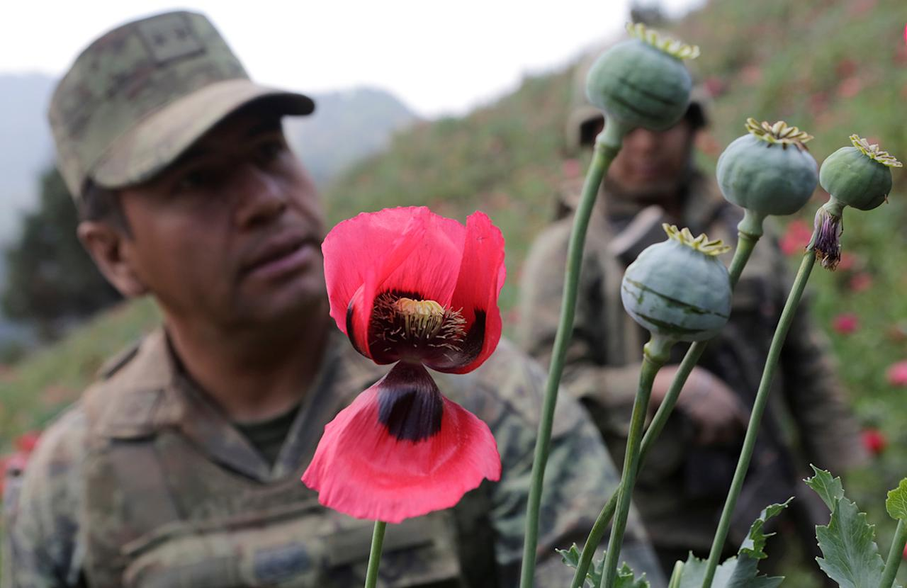 <p>Col. Isaac Aaron Jesus Garcia, left, stands next to poppy plants before a poppy field is destroyed during a military operation in the municipality of Coyuca de Catalan, Mexico, April 18, 2017. (Photo: Henry Romero/Reuters) </p>