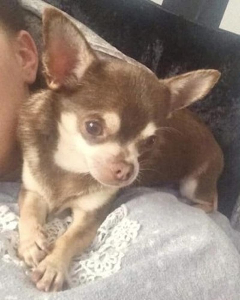 Gizmo the chihuahua is missing (Picture: PA)