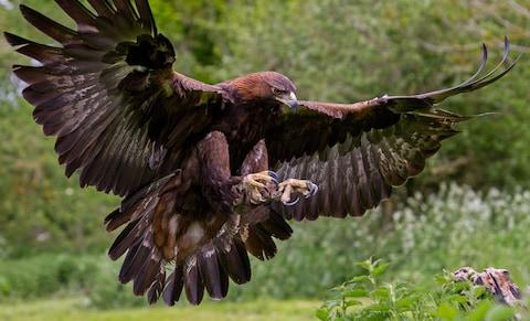 Golden eagle - Credit: istock