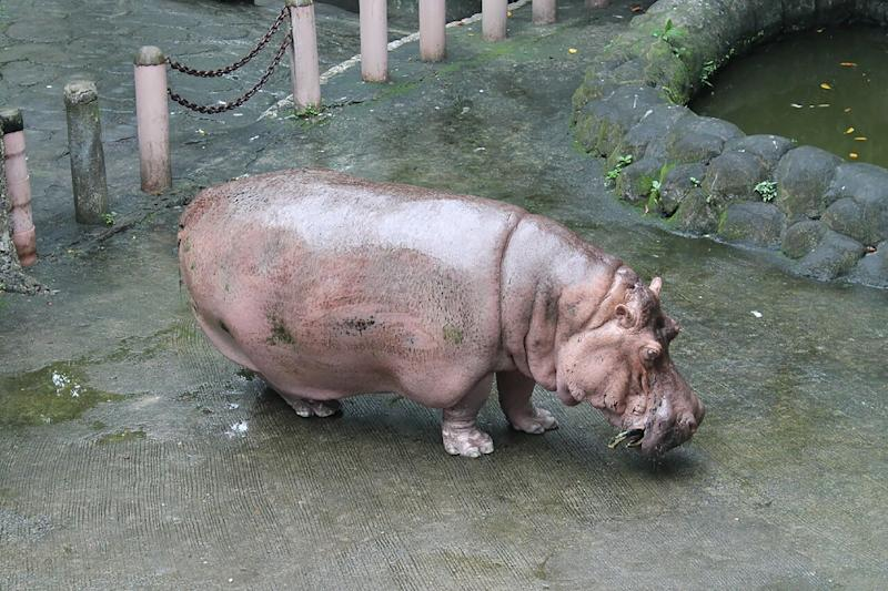 This undated handout photo received from the People for the Ethical Treatment of Animals (PETA-MANILA) on July 10, 2017 shows the 2.5-tonne female hippopotamus 'Bertha' in her enclosure in Manila zoo in the Philippine capital
