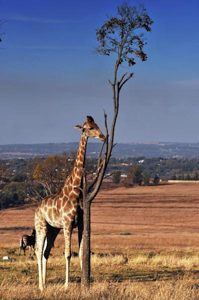 Giraffes are mainly spread out across southern and eastern Africa (AFP Photo/Mustafa Ozer)