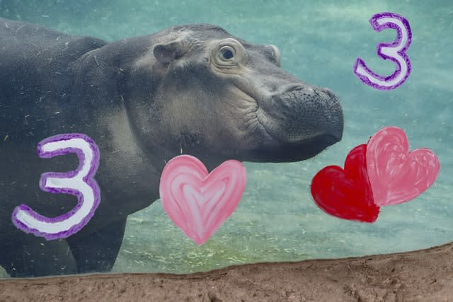 Hippo Fiona swims after eating her specialty birthday cake in her enclosure at the Cincinnati Zoo & Botanical Garden