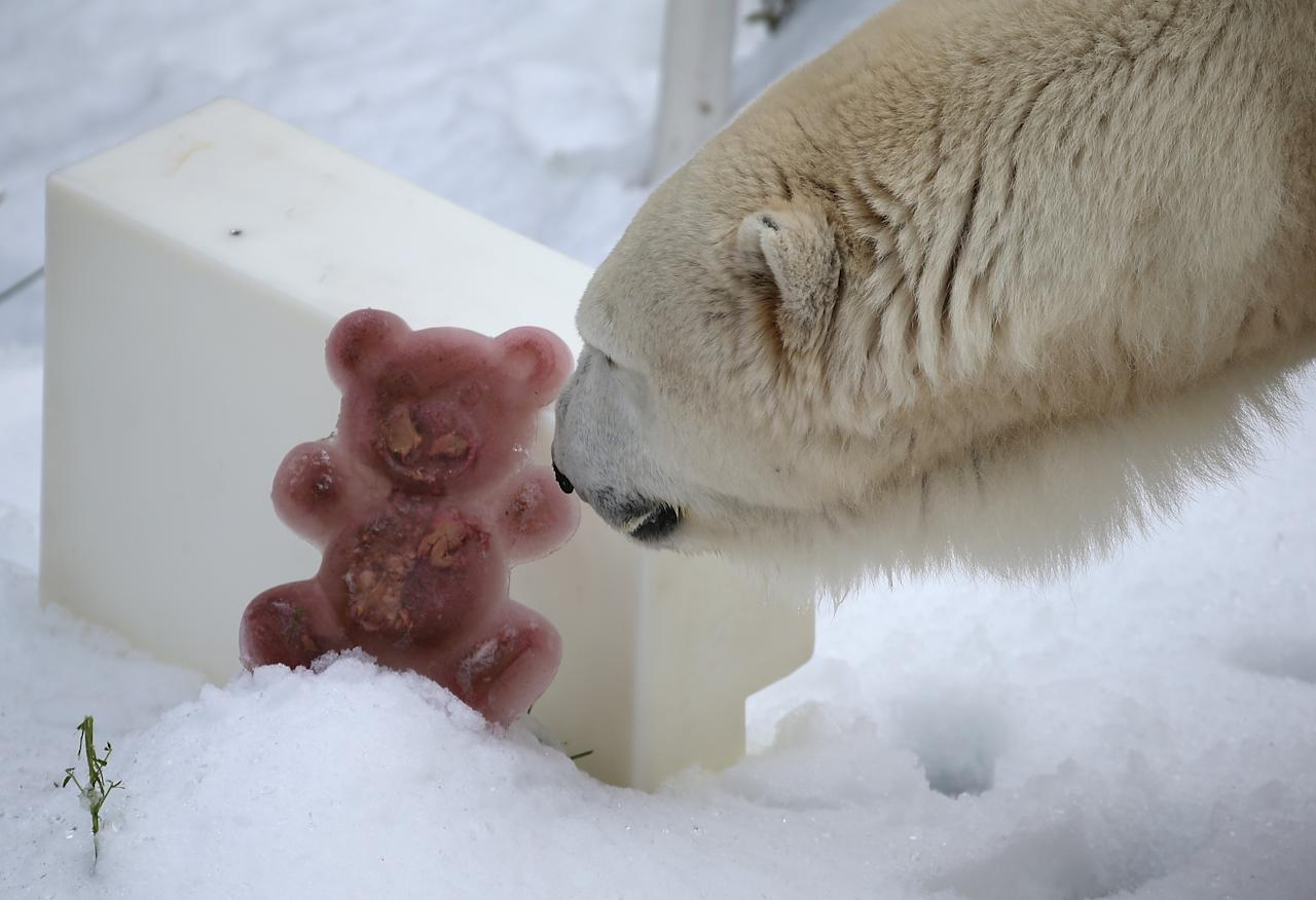SAN FRANCISCO, CA - NOVEMBER 15:  Pike, a 30 year old Polar Bear, inspects a fish flavored frozen bear as he plays in man made snow at the San Francisco Zoo on November 15, 2012 in San Francisco, California.  Two San Francisco Zoo Polar Bears, Pike (30) and Ulu (32)celebrated their birthdays with 10 tons of man made snow and special treats.  (Photo by Justin Sullivan/Getty Images)