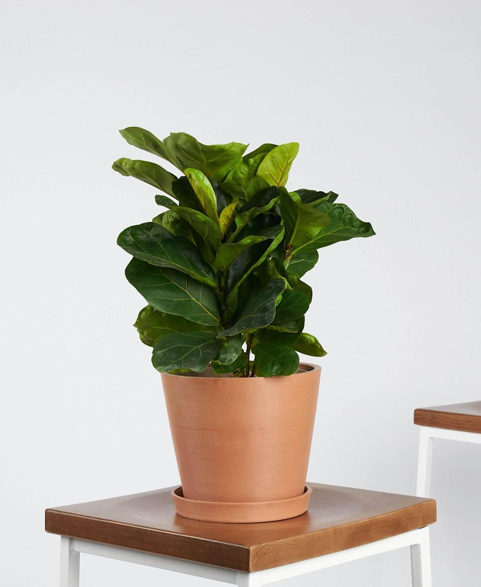 "<p>This <a href=""https://www.popsugar.com/buy/Potted-Ficus-Little-Fiddle-Indoor-Plant-568586?p_name=Potted%20Ficus%20Little%20Fiddle%20Indoor%20Plant&retailer=bloomscape.com&pid=568586&price=65&evar1=casa%3Aus&evar9=47423087&evar98=https%3A%2F%2Fwww.popsugar.com%2Fphoto-gallery%2F47423087%2Fimage%2F47423328%2FPotted-Ficus-Little-Fiddle-Indoor-Plant&list1=shopping%2Chouse%20plants%2Cplants%2Chome%20decorating%2Cdecor%20shopping%2Cbloomscape&prop13=api&pdata=1"" class=""link rapid-noclick-resp"" rel=""nofollow noopener"" target=""_blank"" data-ylk=""slk:Potted Ficus Little Fiddle Indoor Plant"">Potted Ficus Little Fiddle Indoor Plant</a> ($65) is an incredibly popular option right now.</p>"