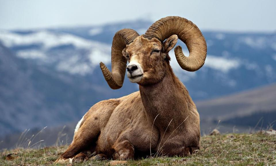Ram with big horns and mountains in the background