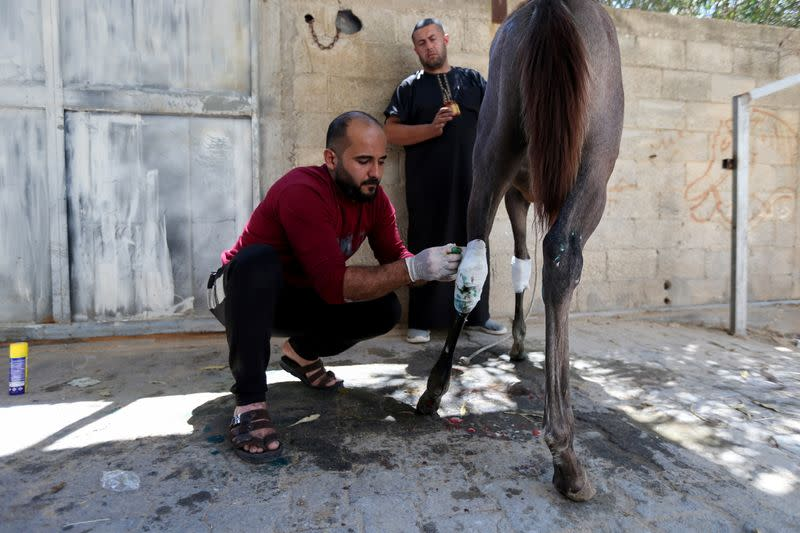 A man treats the horse of Palestinian Omar Shahin, which was wounded during the Israeli-Palestinian fighting, in Gaza
