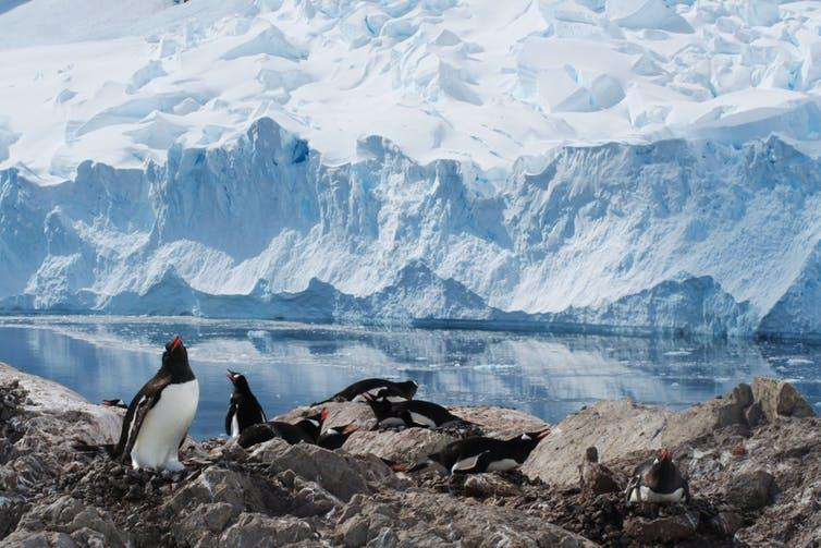 Group of penguins on rocks in front of wall of ice.