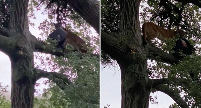 Pictured is the mountain lion up a tree holding the black bag with its mouth.