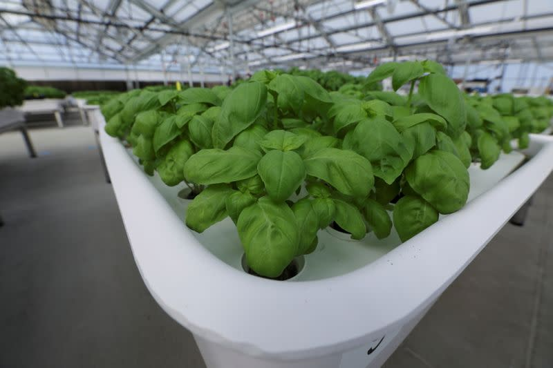 Genovese Basil plants sit in a module in the Iron Ox greenhouse in Gilroy, California