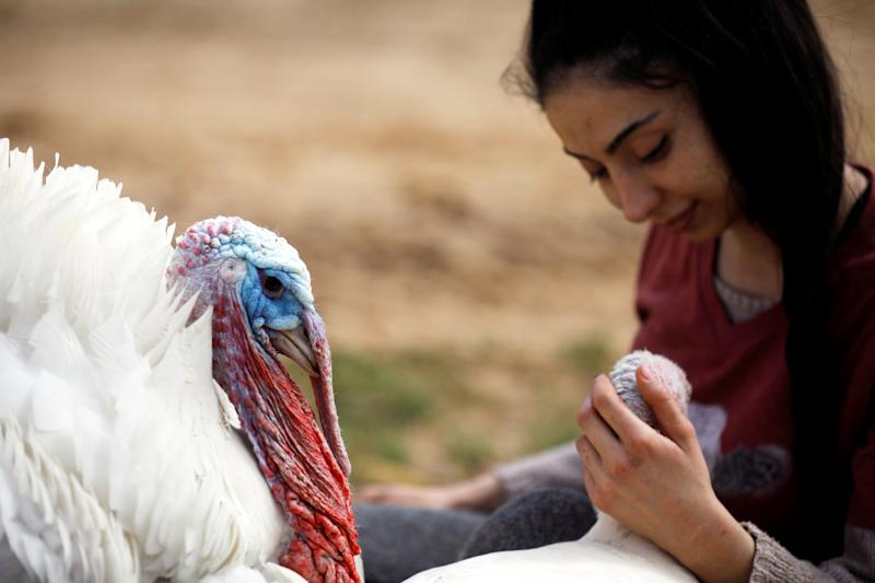 """A turkey, named Yael, sits next to a volunteer at """"Freedom Farm"""", which serves as a refuge for mostly disabled animals in Moshav Olesh, Israel. (Photo: Nir Elias/Reuters)"""