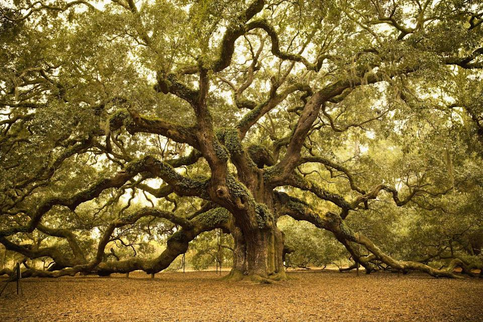 """<p>Located on Johns Island, the massive live <a href=""""http://www.angeloaktree.com/"""" rel=""""nofollow noopener"""" target=""""_blank"""" data-ylk=""""slk:Angel Oak"""" class=""""link rapid-noclick-resp"""">Angel Oak</a> is a sight for any traveler to behold. Estimated to be somewhere between 400 and 500 years old, the oak is 66.5 feet tall, produces 17,200 square feet of shade and serves as the perfect stop on the way to a vacation on Kiawah and Seabrook Islands.</p>"""