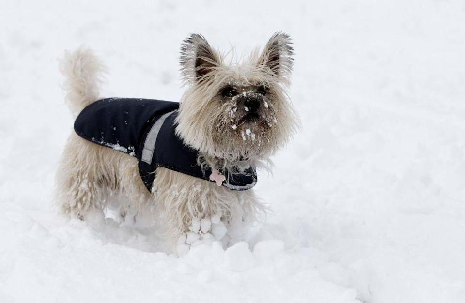 <p>The Cairn terrier is a small but sturdy dog that was originally bred to root out foxes and other small prey in Scotland. These fearless dogs are generally very alert, and they're happiest living with a family. <strong><br></strong></p><p><strong>Weight: 12-14 pounds</strong></p>