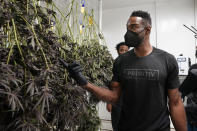 Calvin Johnson looks over marijuana plants growing at his business in Webberville, Mich., Friday, June 4, 2021. The former Detroit Lions wide receiver has founded a cannabis business and is collaborating with Harvard University to research how marijuana can help people with CTE and chronic pain. Johnson will be inducted into the Pro Football Hall of Fame on Aug. 8.(AP Photo/Carlos Osorio)