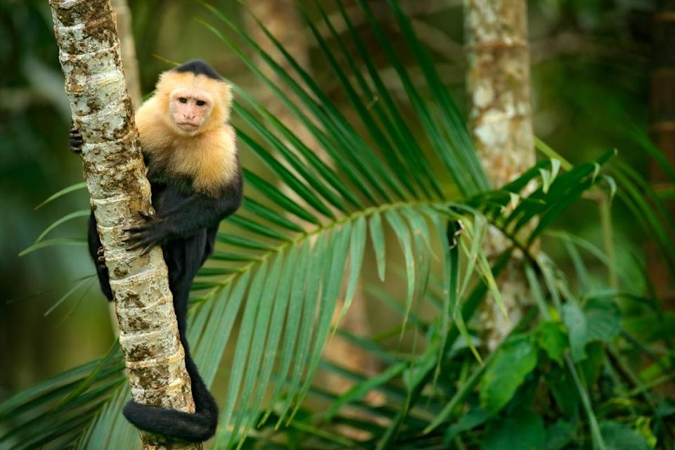 "If you happen to be around a monkey, you might be inclined to feed it a banana. But the fact is, bananas contain far too much sugar for monkeys to handle. ""Giving <a href=""https://www.paigntonzoo.org.uk/explore/news/detail/taking-diet-tips-from-monkeys"" rel=""nofollow noopener"" target=""_blank"" data-ylk=""slk:this fruit to animals"" class=""link rapid-noclick-resp"">this fruit to animals</a> is equivalent to giving them cake and chocolate,"" according to <strong>Amy Plowman</strong>, head of conservation and advocacy at the Paignton Zoo in Devon, U.K. ""Compared to the food they would eat in the wild, bananas … have lots of calories and contain much more sugar that's bad for their teeth and can lead to diabetes and similar conditions. It can also cause gastrointestinal problems as their stomachs are mostly adapted to eating fibrous foods with very low digestibility."" The more you know! And for more awesome animal information, check out these <a href=""https://bestlifeonline.com/animal-facts/?utm_source=yahoo-news&utm_medium=feed&utm_campaign=yahoo-feed"" rel=""nofollow noopener"" target=""_blank"" data-ylk=""slk:50 Animal Facts That Will Change the Way You View the Animal Kingdom"" class=""link rapid-noclick-resp"">50 Animal Facts That Will Change the Way You View the Animal Kingdom</a>."