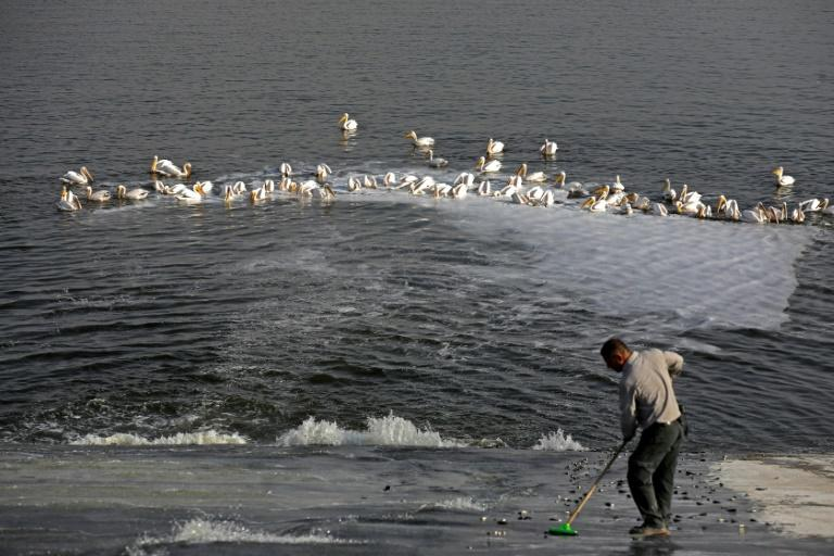 An Israeli Nature and Parks Authority employee feeds fish to pelicans so they don't raid commercial fish pools instead (AFP Photo/MENAHEM KAHANA)