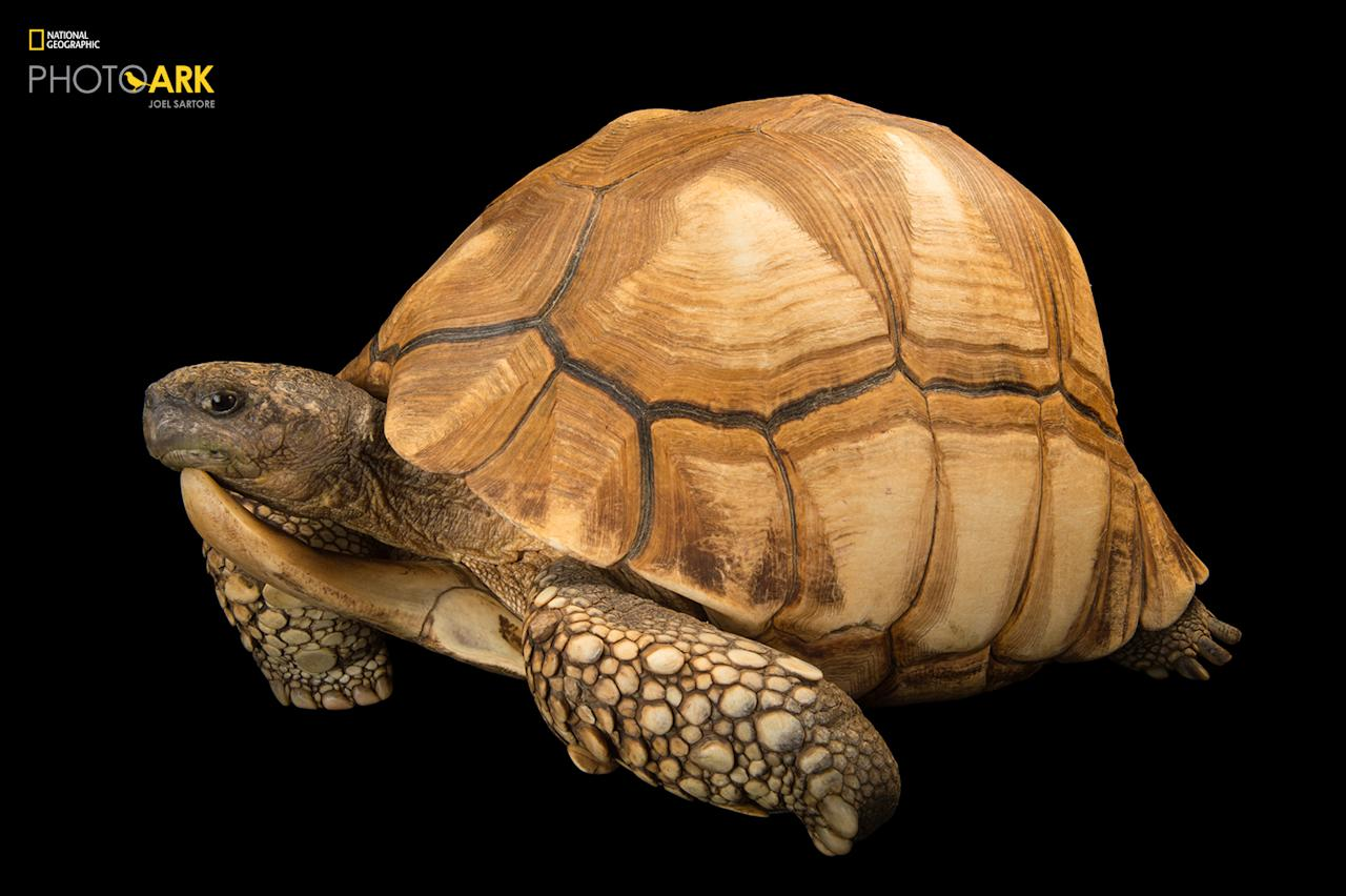 <p><strong>Critically endangered, fewer than 800 left in the wild</strong>. Photographed at the Turtle Conservancy in Ojai, California. (© Photo by Joel Sartore/National Geographic Photo Ark) <br /><em> Support the Photo Ark and projects working to help save species</em><br /><em> at PhotoArk.org and join the conversation on social media with</em><br /><em> #SaveTogether.</em> </p>