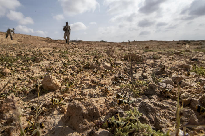 In this photo taken Wednesday, Feb. 5, 2020, a policeman looks at young desert locusts that have not yet grown wings covering the ground in the desert near Garowe, in the semi-autonomous Puntland region of Somalia. The desert locusts in this arid patch of northern Somalia look less ominous than the billion-member swarms infesting East Africa, but the hopping young locusts are the next wave in the outbreak that threatens more than 10 million people across the region with a severe hunger crisis. (AP Photo/Ben Curtis)