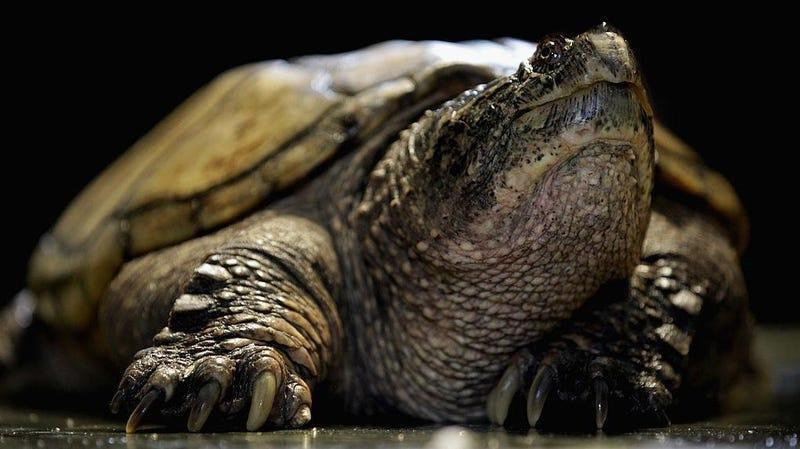 A puny, regular-style snapping turtle that couldn't sell a lake if its life depended on it.