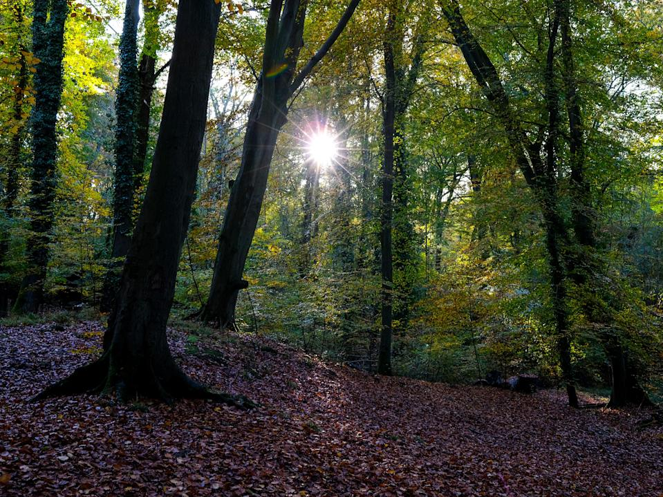 <p>Woodland accounts for 13 per cent of Britain's surface area, about half of which consists of oak, beech and ash</p> (Richard Heathcote/Getty)