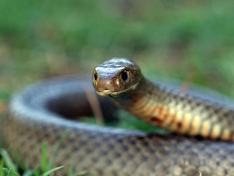An eastern brown snake, the second-most venomous type in the world: Creative Commons/Matt Clancy