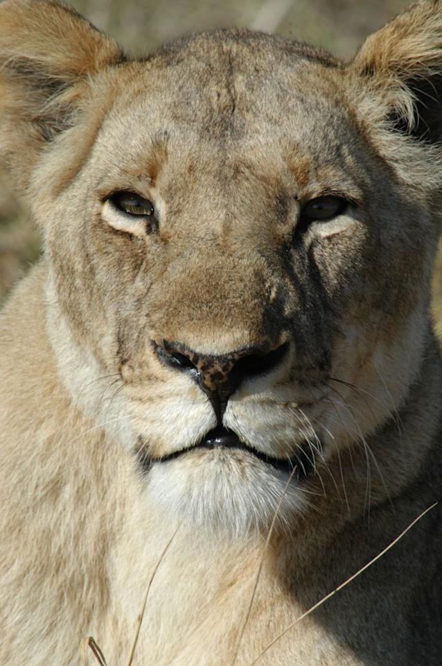 Busanga Swamps, Zambia: Close-up of Mother (lioness).