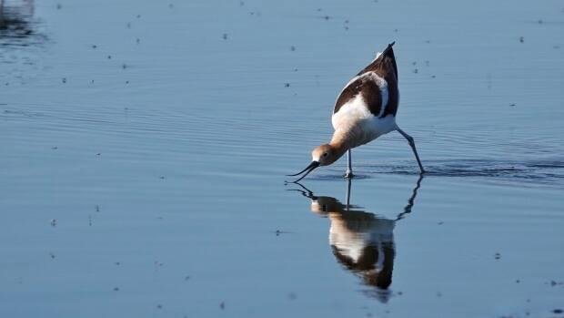 With thin pink legs, black-and-white plumage andlong black bills, black-necked stilts are striking, Keating said.