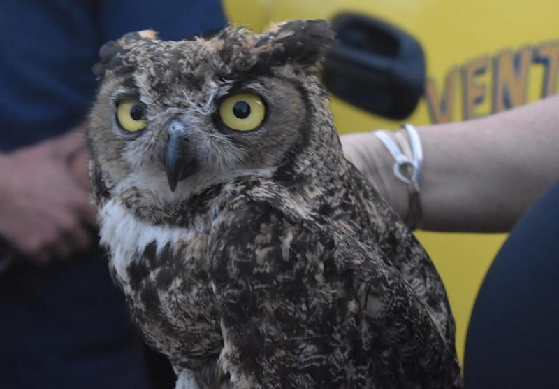 This great horned owl was returned to the wild in Somis Wednesday. He was rescued in November by Ventura County firefighters in the aftermath of the Maria Fire.