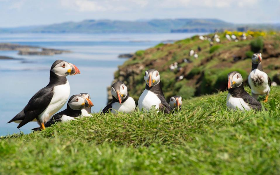 Group of Atlantic Puffins on the isles of Scotland (photo taken in Oban) - Getty