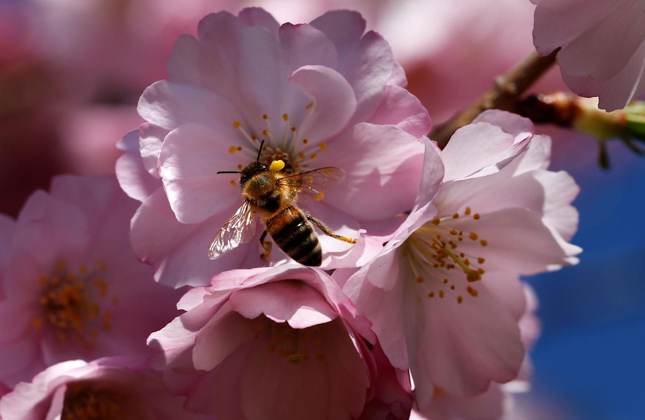 <p>A bee searches for pollen among cherry blossoms on a sunny spring day in Lausanne, Switzerland March 20, 2017. (Denis Balibouse/Reuters) </p>