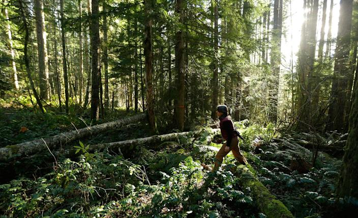 """<p>Paula Swedeen, a forest policy specialist for the Washington Environmental Council, walks through forest land adjacent to Mount Rainier National Park on Monday, Nov. 23, 2015, near Ashford, Wash. The land is part of a new project of 520 acres on private timberland that allows the private nonprofit Nisqually Land Trust to sell so-called """"carbon credits"""" to individuals and companies – including Microsoft Corp. – who are hoping to offset their carbon footprints. (AP Photo/Ted S. Warren) </p>"""