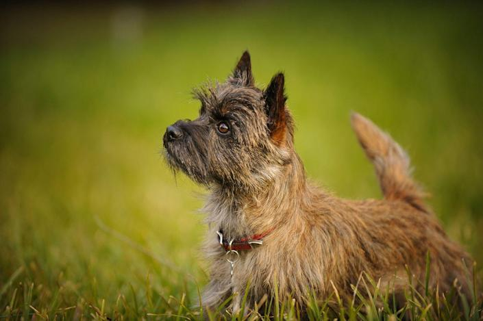 """<p>According to the AKC, <a href=""""https://www.akc.org/dog-breeds/cairn-terrier/"""" rel=""""nofollow noopener"""" target=""""_blank"""" data-ylk=""""slk:Cairn Terriers"""" class=""""link rapid-noclick-resp"""">Cairn Terriers</a> are happy dogs who keep themselves busy, thanks to their inherent curiosity, alertness., and intelligence Their double coat is harsh, wiry on top soft, fluffy on the bottom, and only sheds occasionally. Cairns are small enough to be a lap-dog but also strong enough to play energetically on the lawn. </p>"""