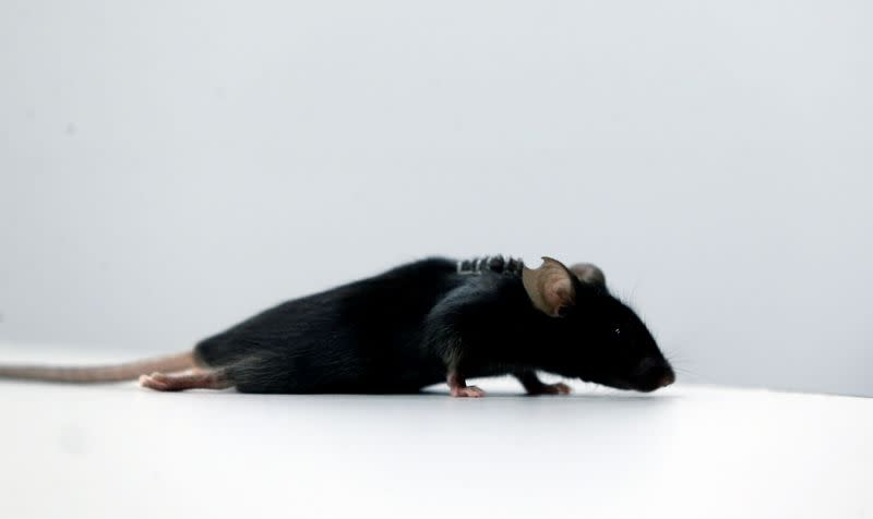 Scientists discover way to restore ability to walk in mice