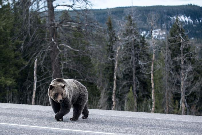 The Yellowstone population of grizzly bears was designated as threatened with extinction in 1975.