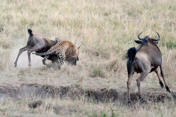 Incredible photos as brave wildebeest saves calf from leopard attack