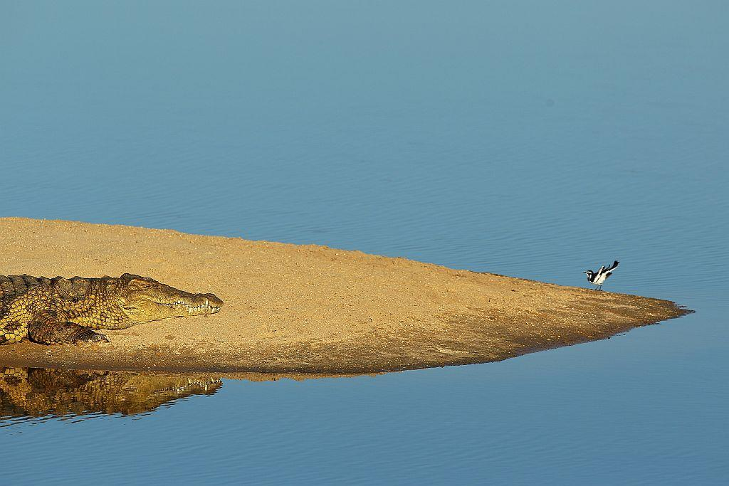 A crocodile watches a bird on a sand island in Edeni Game Reserve, a 21,000 acre wilderness area with an abundance of game and birdlife located near Kruger National Park in South Africa.