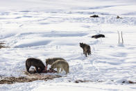 This Jan. 24, 2018, photo released by the National Park Service shows wolves from the Wapiti Lake pack feeding on a dead bison in Yellowstone National Park, Wyo. Wolves have repopulated the mountains and forests of the American West with remarkable speed since their reintroduction 25 years ago, expanding to more than 300 packs in six states. (Jacob W. Frank/National Park Service via AP)