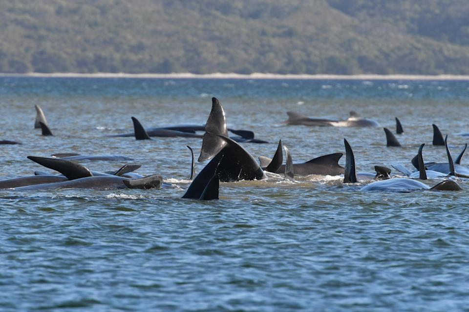 Hundreds of pilot whales were seen stranded on a sand bar in Strahan, Australia: Getty Images