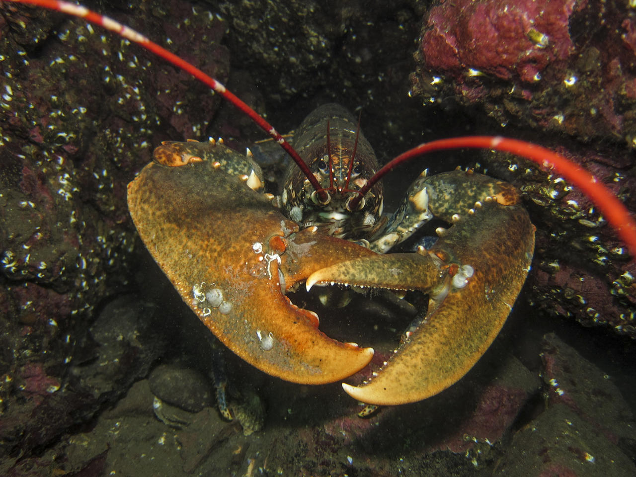 <p>Paula Bailey snapped this picture of a lobster while diving at St Abbs in the UK (Picture: Paula Bailey/UPY 2017) </p>