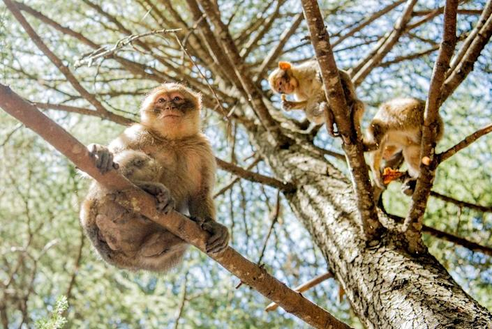 Conservationists blame illegal poaching, tourism, and overexploitation of the cedar and oak forests that form the species' natural habitat for the decline of the Barbary macaques (AFP Photo/FADEL SENNA)