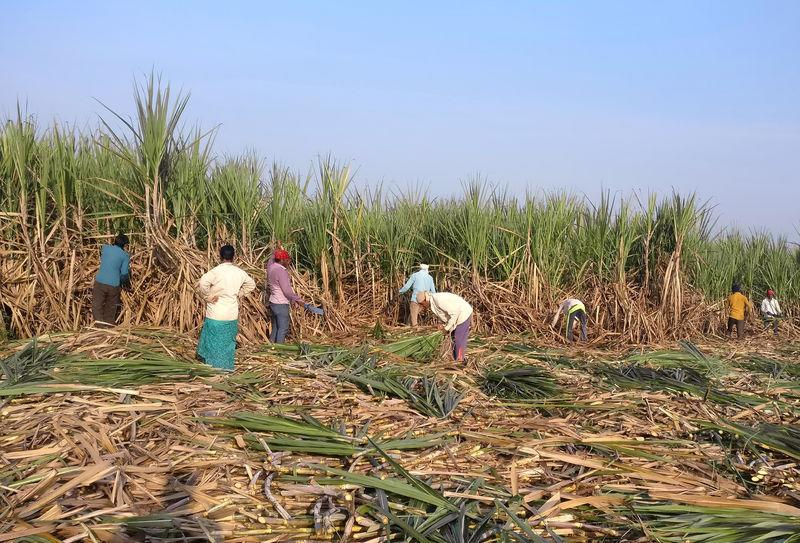 pFILE PHOTO: Workers harvest sugarcane in a field in Gove village