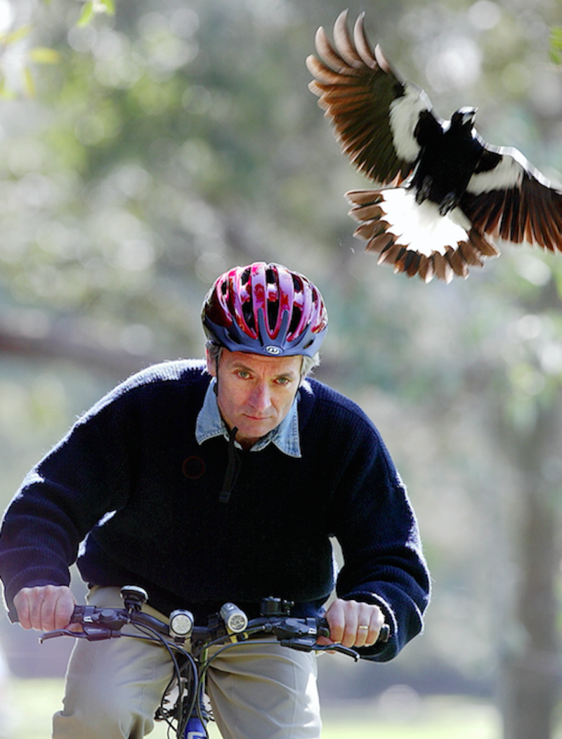 Magpie attacks on cyclists in Australia are often reported during spring