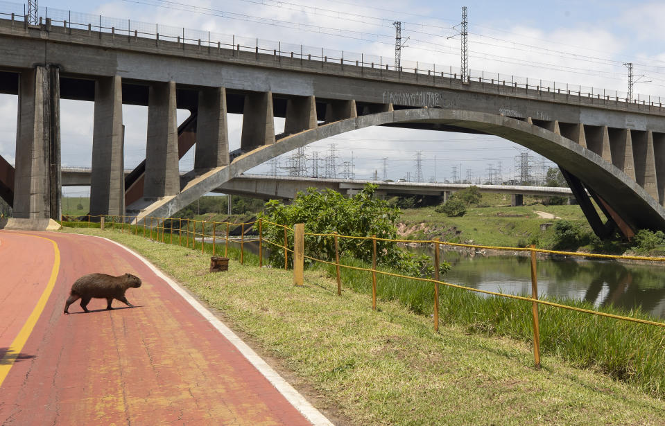 A capybara crosses a bicycle path on the banks of the Pinheiros River in Sao Paulo, Brazil, Thursday, Oct. 22, 2020. Affected by domestic sewage and solid wastes discharges for years, Sao Paulo's state government is again trying to clean the Pinheiros River, considered one of the most polluted in Brazil. (AP Photo/Andre Penner)