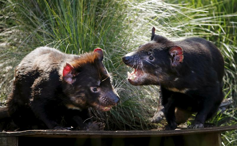 Tasmanian Devils Evolving Rapidly To Fight Cancer